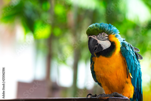 Fotobehang Papegaai Macore bird, ma core bird Lovely and lovable pet parrot from the Amazon jungle..