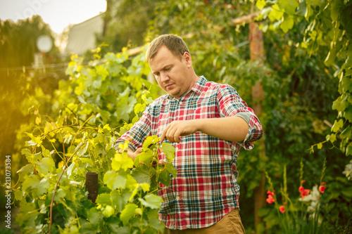 Leinwanddruck Bild Mant prune grape brunch, work on a family farm