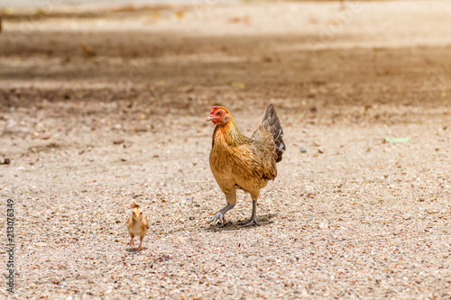 Plakat Beautiful Rooster and hen on nature background