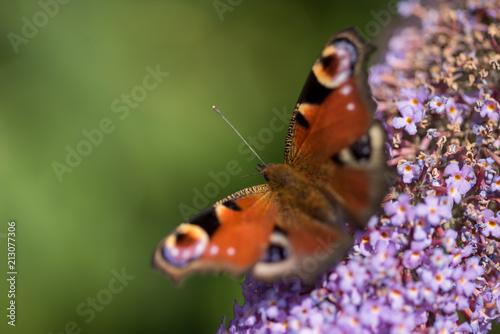 Butterfly 5 - 213077306