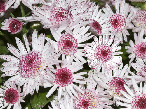 White and pink chrysanthemums with glitter sprinkles in closeup
