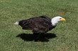 The bald eagle is a large bird of prey from the family of Accipitridae
