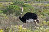 Ostriches on De Hoop NP, South Africa - 213082134
