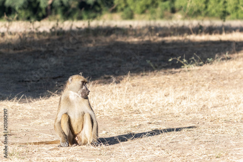 Sticker Male baboon checking his land