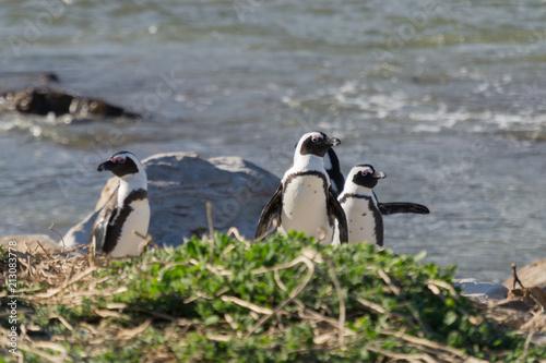 Fotobehang Pinguin Penguins on Stony Point, South Africa