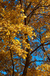 Golden maple trees against a blue autumn afternoon