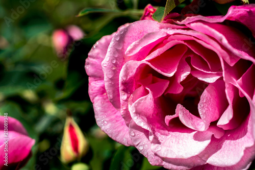Rose petals with water drops - 213089348
