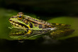 Green frog in a pond. Beautiful amphibian. Lake, leaves, fresh green colors. Natural shot. Wildlife.