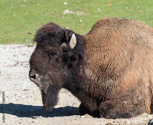 Fotobehang Bison Waldbison - Bison bison athabascae