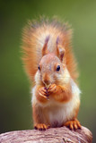 The red squirrel or Eurasian red sguirrel (Sciurus vulgaris) sitting in the scandinavian forest. Squirrel in a typical environment. Sqirrrel with nut. - 213097722