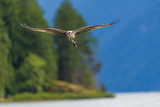 Osprey with fish flying towards camera at Pitt Lake, B.C. Canada - 213098133