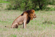 Profile of a lion sitting down on its haunches