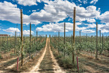 Poplar nursery in the province of Zamora in Spain - 213101931