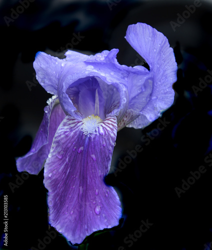 Fotobehang Iris purple iris with water droplets on the petals on a black background