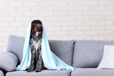 German pointer dog sitting on grey sofa - 213109903