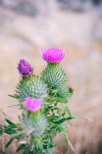 Fridge magnet Thistles in bloom. The Thistle also the national symbol of Scotland.