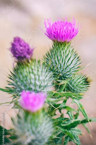 Osty w rozkwicie. The Thistle również narodowy symbol Szkocji.