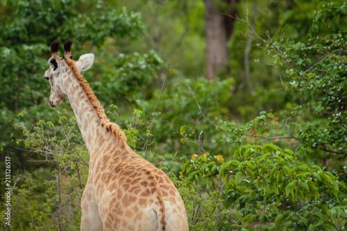 Fototapeta Giraffe