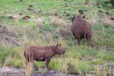 Rhino - 213132384