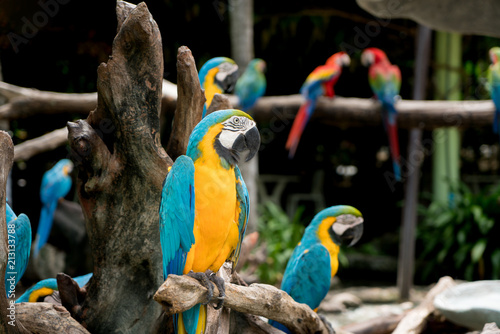 Fototapeta Blue and gold macaw bird sitting on a tree branch in forest.