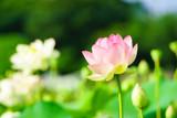 蓮の花 - 213154300