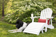 A newfoundland dog next to an Adirondack chair in summer