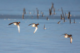 Flock of wigeons - 213168547