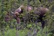 Young Alaska bull moose (Alces alces gigas)