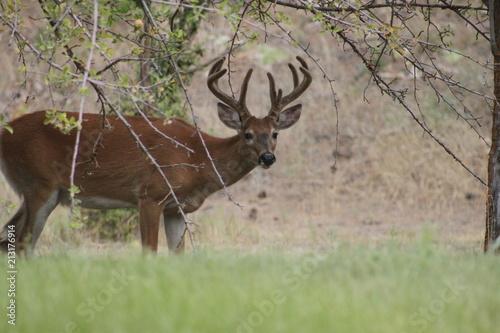 Fototapeta Red Bucks 2