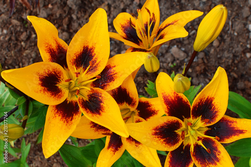 Fototapeta Yellow lily flowers and buds with water drops on garden soil background after rain in sunny summer day closeup top view image.