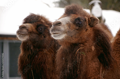 Canvas Kameel Portrait of two camels in the zoo