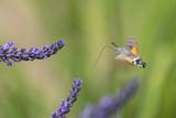 Taubenschwänzchen bei Nektarsuche an Lavendel - 213186158