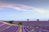 Endless rows of lavender - 213190985