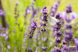 Soft focus flowers. Lavender fields with warm and soft sunlight. - 213195597