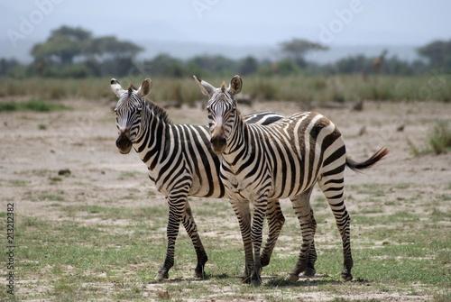 Zebry w parku narodowym Amboseli w Kenii