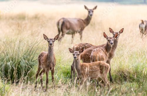Fototapeta Deer