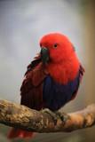 Fototapeta Rainbow - papuga © Arkadiusz