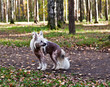 Chinese Crested Hairless dog standing on autumn park