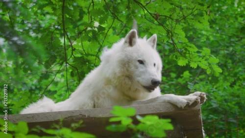 Obraz na płótnie rare white wolf in tiny ZOO
