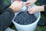 zbieranie winogron - 213224129