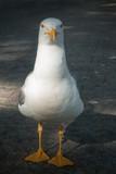 Seagull looking at camera - 213227351