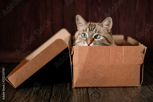 Fotobehang Kat A beautiful gray cat with blue eyes is sitting in a cardboard box