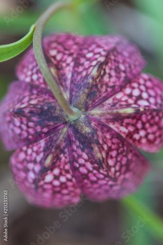 widok z góry na kwiat szachowy kwiat (fritillaria meleagris)