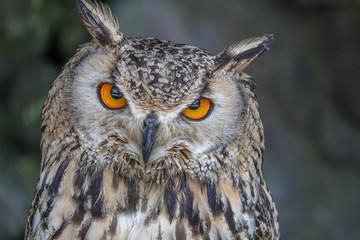Portrait of Eurasian Eagle-owl (Bubo bubo)
