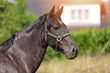 cheval noir croisement Alençon et pur sang arabe - 213242165