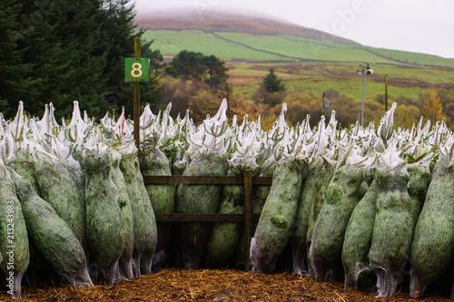 Fotobehang Olijf Christmas Tree harvest