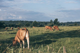 Cows are on the field - summer landscape - 213245993