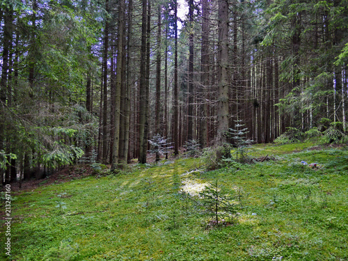 Forest glade with small trees against the background of high trunks of pines