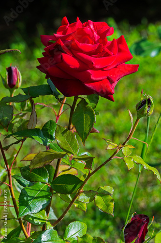elegant red rose with unsweetened buds on a sturdy stem