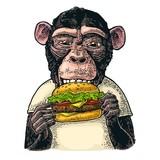 Monkey wearing a t-shirt eating a hamburger burger. Vintage color engraving - 213257394